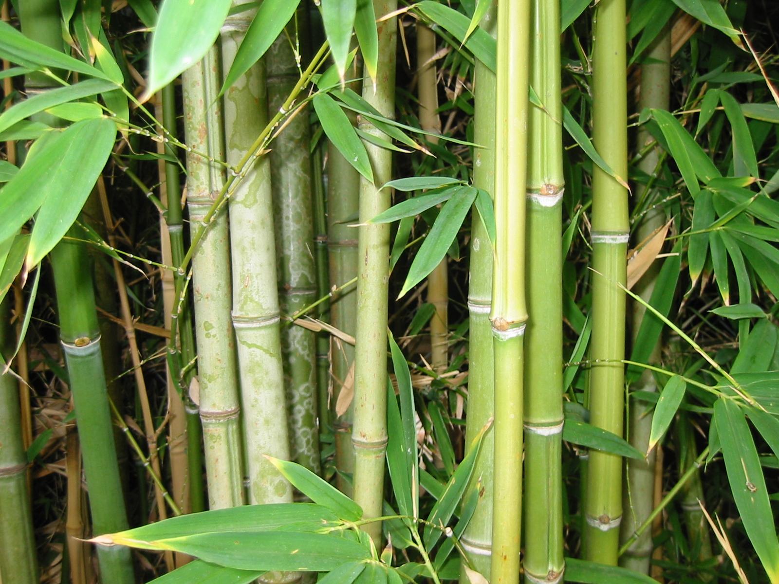 Pousses bambou