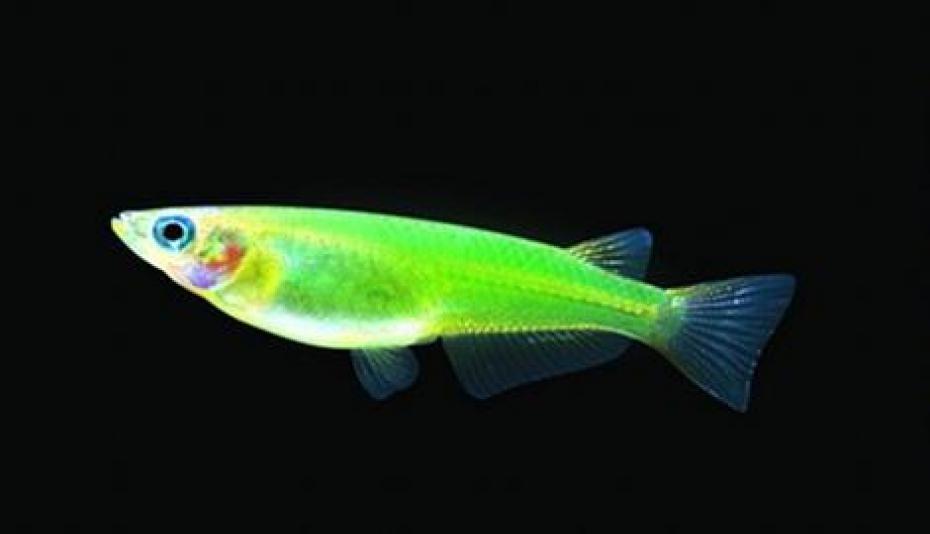 Sushi fluorescent
